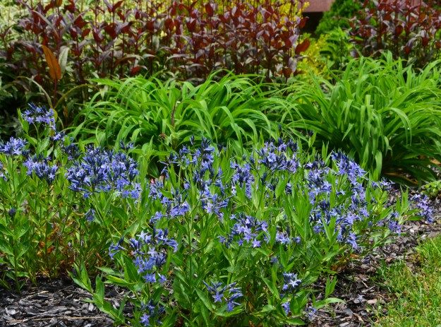 Amsonia Blue Ice Day Lilies Plants Garden