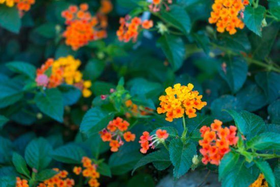 5 Container-Worthy Potted Plants that Repel Mosquitoes 5 Container-Worthy Potted Plants that Repel Mosquitoes #plantsthatrepelmosquitoes