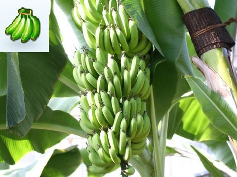 Cold Hardy Plantain Banana Plant To Purchase Banana Plants Banana Tree Trees To Plant