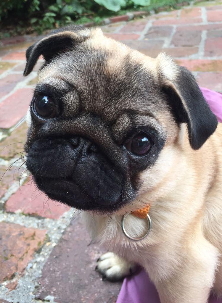 Carlin Mignon Pug Baby Pug Dog Dogs Cute Pugs