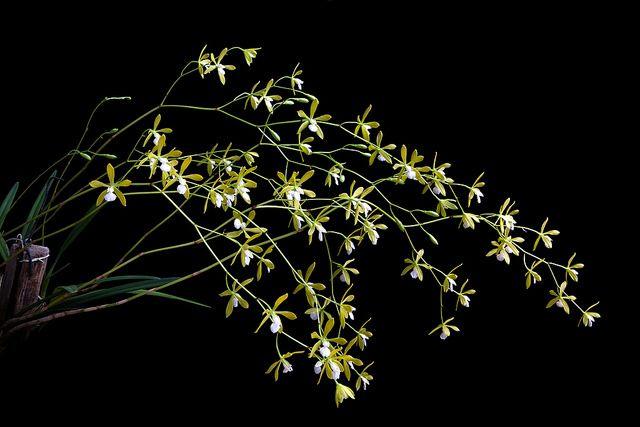 Encyclia tampensis alba