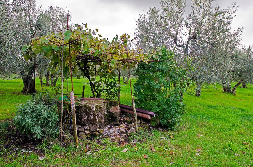 Olive Trees Italy Via Italia It