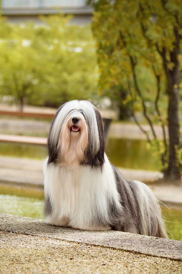 Tibetan Terrier. | Tibetan terrier, Dogs, puppies, Dogs