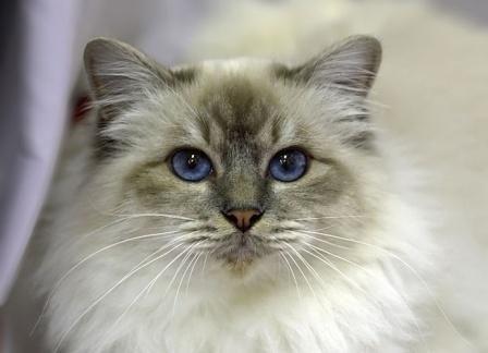 Pictures Of Birman Cats Birman Cat Domestic Cat Breeds Burmese