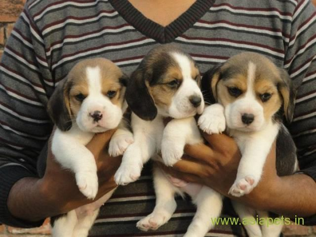 Pin By Avrtatiana On Dogs Puppies Beagle Breeders Rottweiler Training