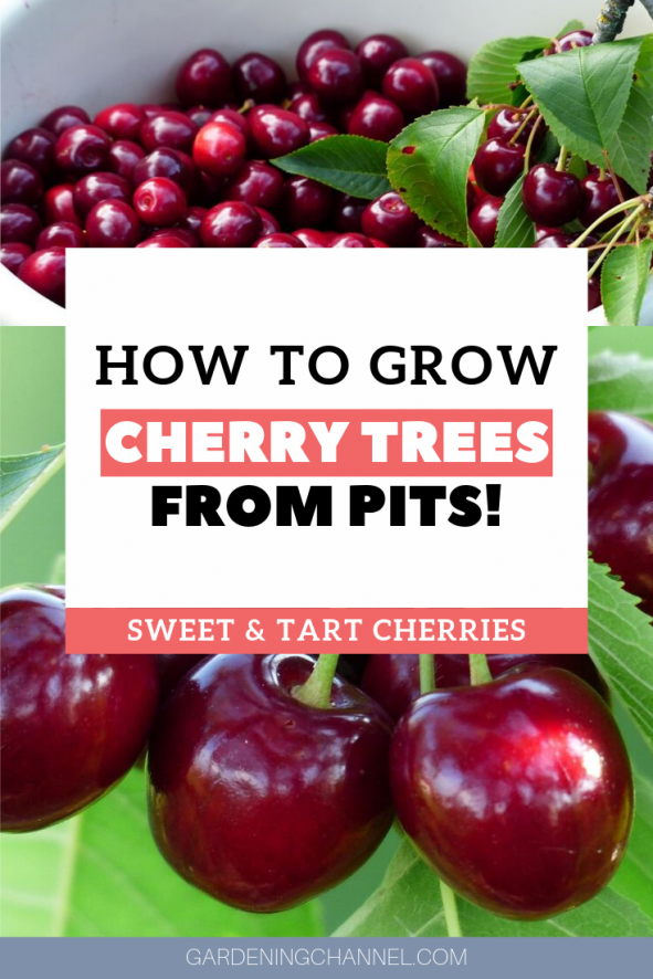 An Average Cherry Tree Can Produce 7000 Cherries Per Year Start Your Own Orchard Learn How To Growing Cherry Trees How To Grow Cherries Planting Cherry Seeds