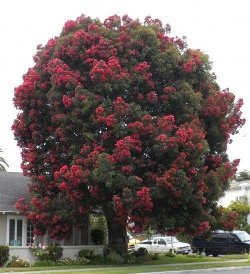 Coastal Gardening In Southern California Specimen Trees Tree Tree Nursery