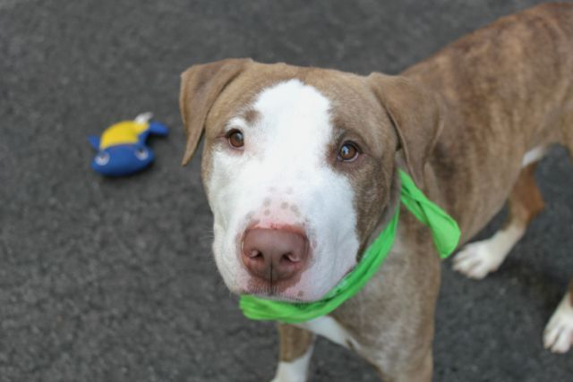 Manhattan center LENOX – A1081296 ***SAFER : AVERAGE HOME*** NEUTERED MALE, BR BRINDLE / WHITE, AM PIT BULL TER, 1 yr, 8 mos OWNER SUR – EVALUATE, NO HOLD Reason OWNER SICK Intake condition EXAM REQ Intake Date 07/14/2016, From NY 10032, DueOut Date 07/14/2016, I came in with Group/Litter #K16-065626.