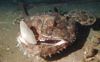 Scientificamente nota con il nome di Lophius piscatorius, appartiene alla famiglia dei Lophiidae, pesci che vivono sul fondo e che possono strisciare su pinne pettorali allungate simili a braccia. L'altra loro caratteristica univoca e' data dalla prese...