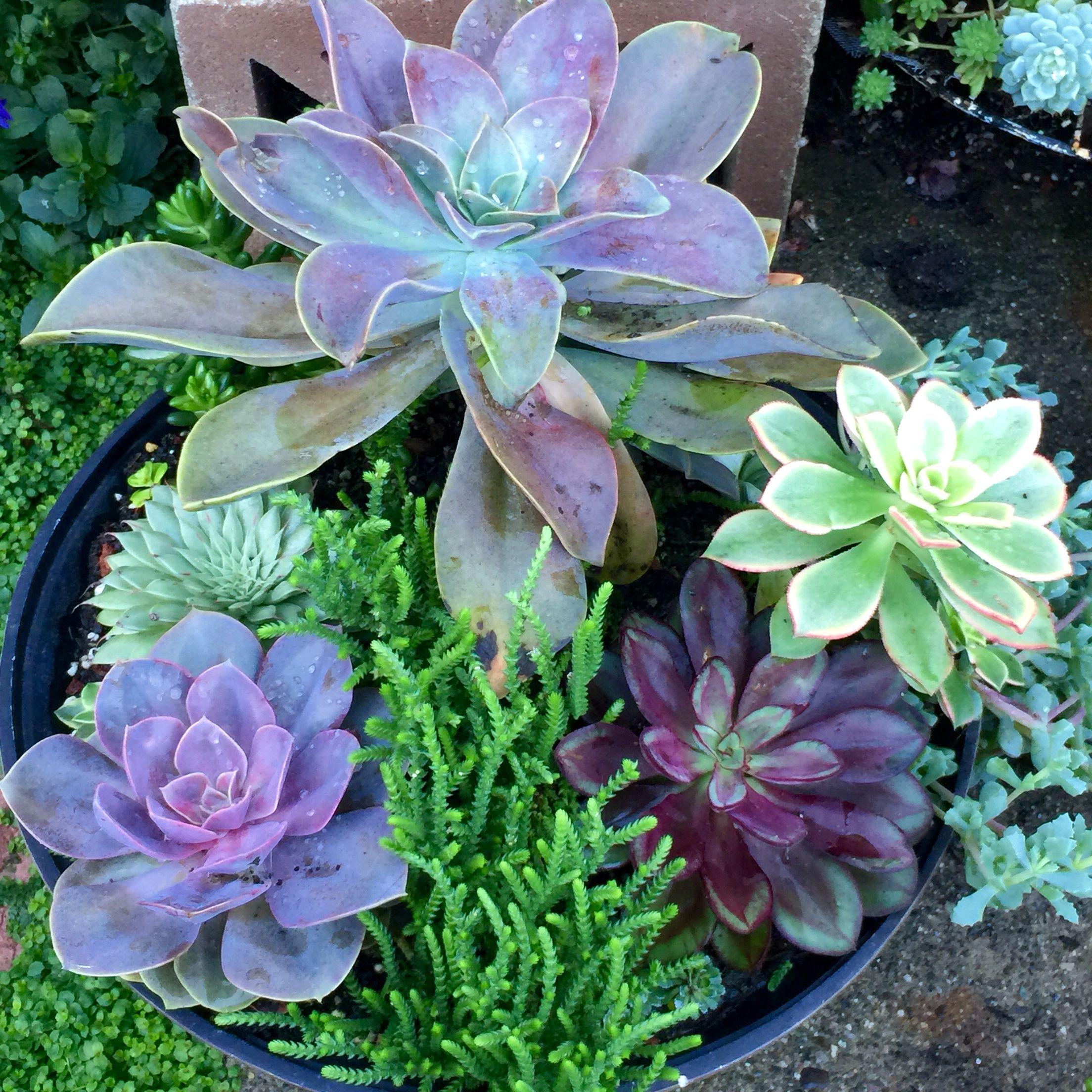 Susans Succulent Garden, Succulent Arrangement, Drought Tolerant, Potted Plant, Planter,