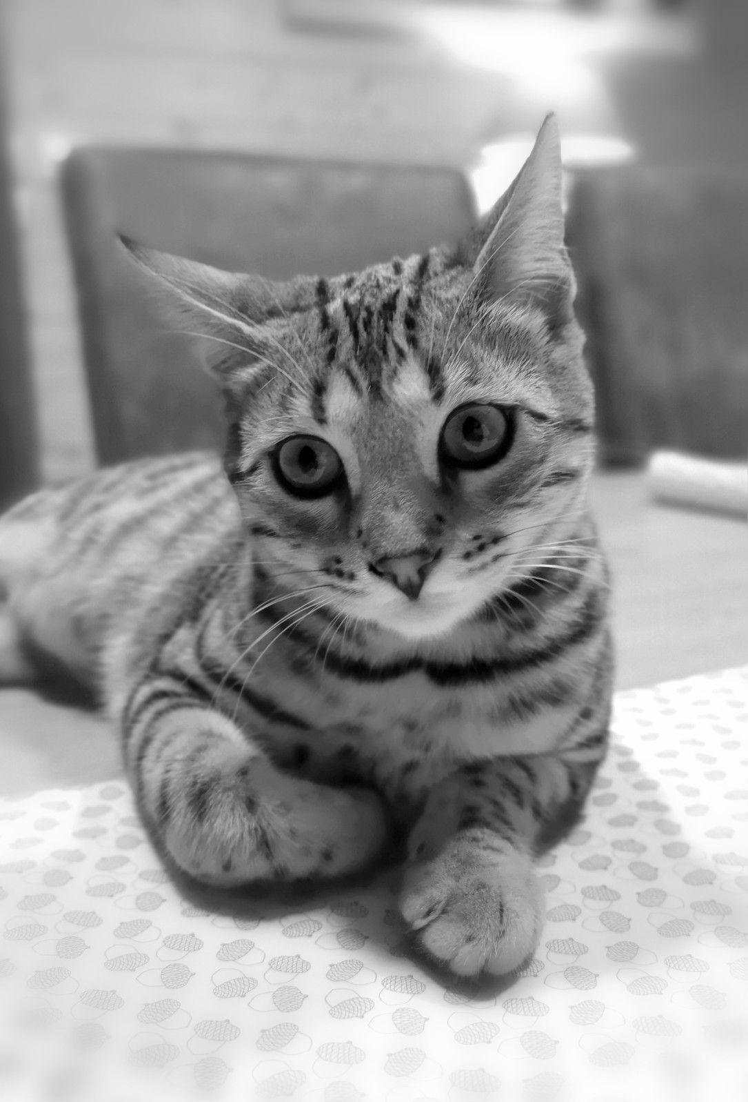 Jhara my Bengal kitten Chaton
