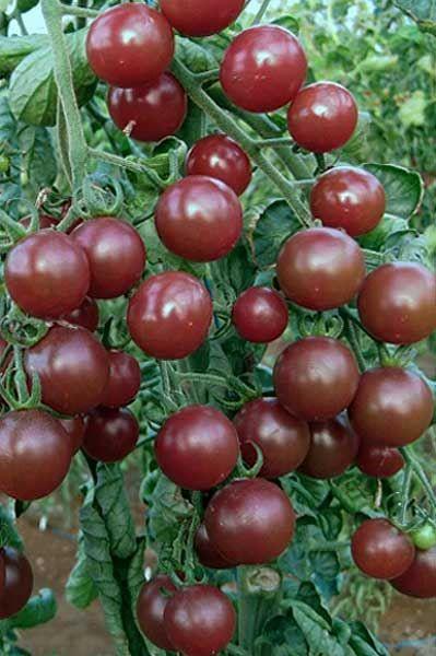 Tomato 'Black Opal' Planting Vegetables Tomato Garden 400 x 300