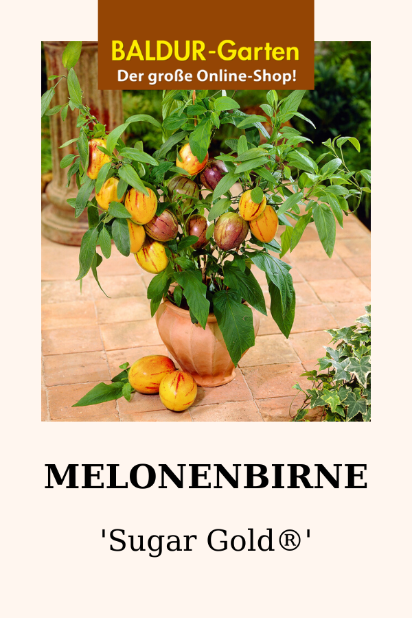 Melonenbirne Sugar Gold Melonenbirne Sugar Pflanzentopf Plants Garten Vegetables