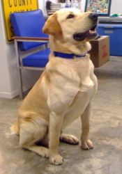 Duke Is An Adoptable Yellow Labrador Retriever Dog In New Fairfield Ct Duke Is A Gorgeous 2 Year Old Yellow Lab He Is Calm Gentle Friendly A Labrador Caes