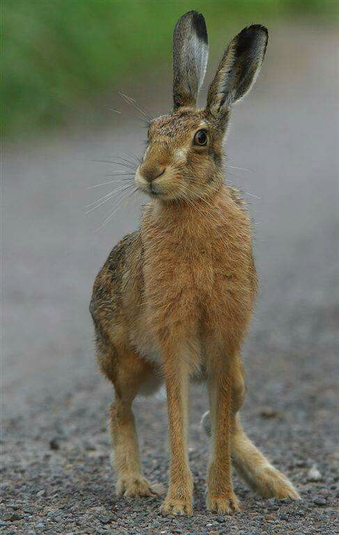 Cane cutter | HARES | Pinterest | Animales, Anatomía animal y Conejo