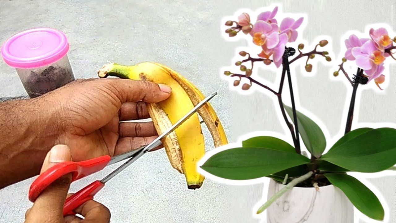 Banana peel - best fertilizer for orchids to bloom