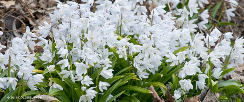 A photograph of the the spring flowering specialty bulbs cultivar a photograph of the the spring flowering specialty bulbs cultivar white squill mightylinksfo