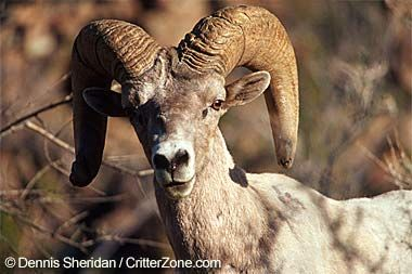 Nevada State Animal Desert Bighorn Sheep Canadensis Sheep Animals