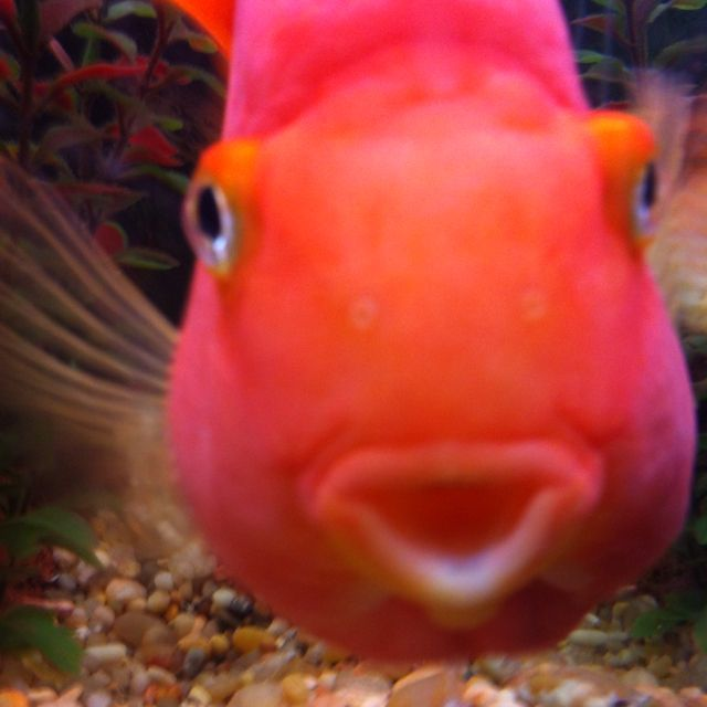 My fish, Mango! He's a red blood parrot cichlid ...
