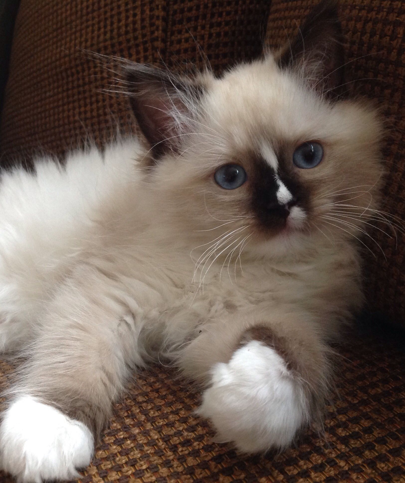 Reese Willow 9 Week Old Mitted Seal Ragdoll Pretty Cats Kittens Cutest Ragdoll Cat
