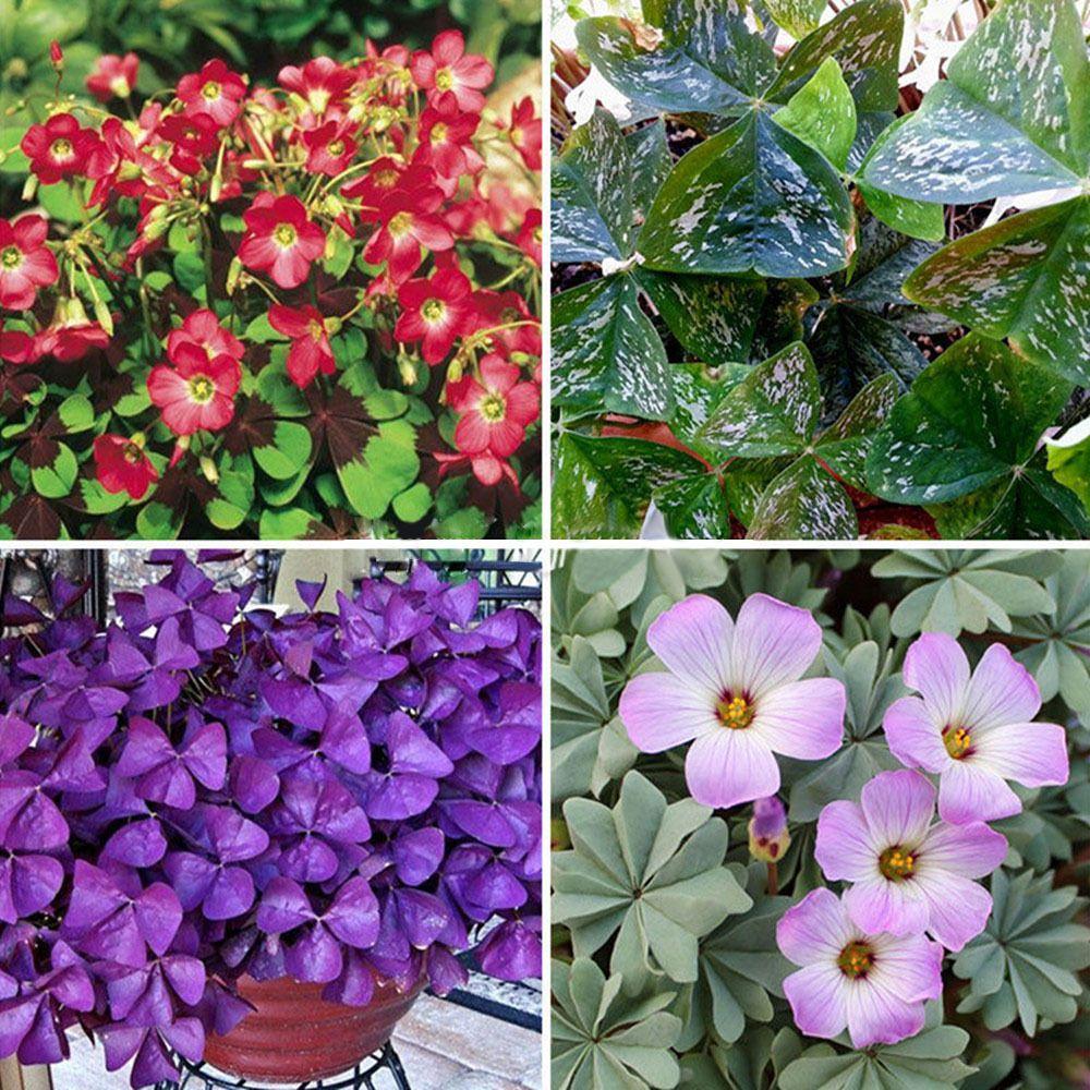 Easy Grow Perennial 10x Shamrock Oxalis Triangularis Bulbs Leaf
