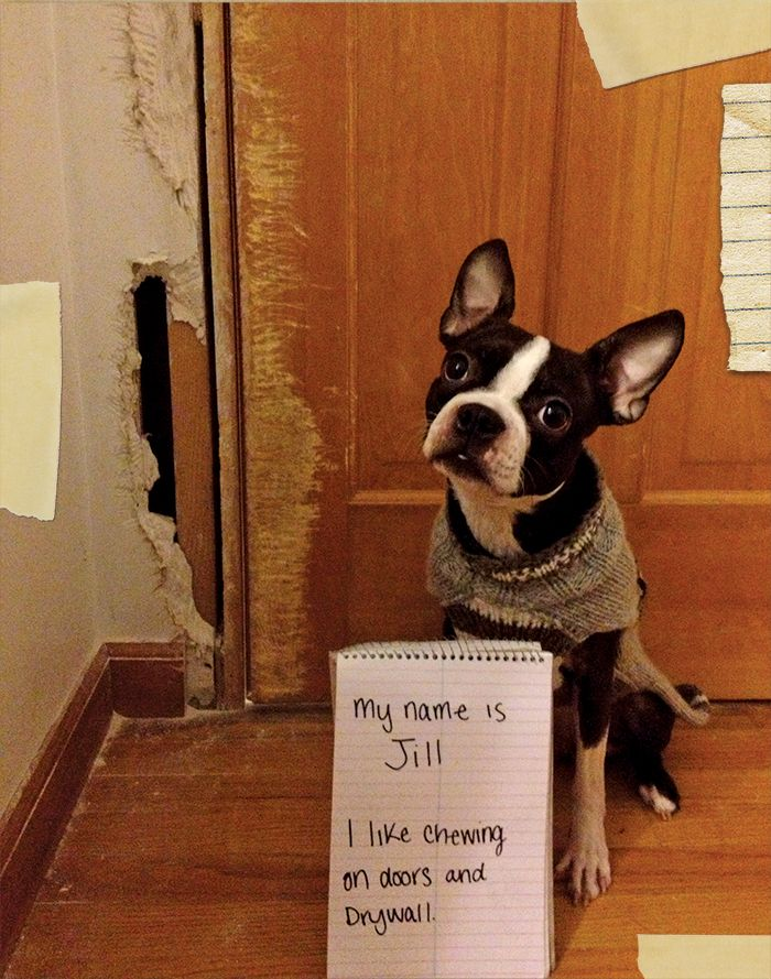 A Doggie Who Loves Drywall And Doors Dogs Dog Shaming Canine
