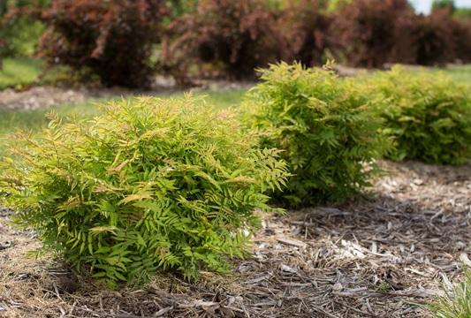 Matcha Ball False Spirea In 2020 Spirea Edging Plants Spirea Plant