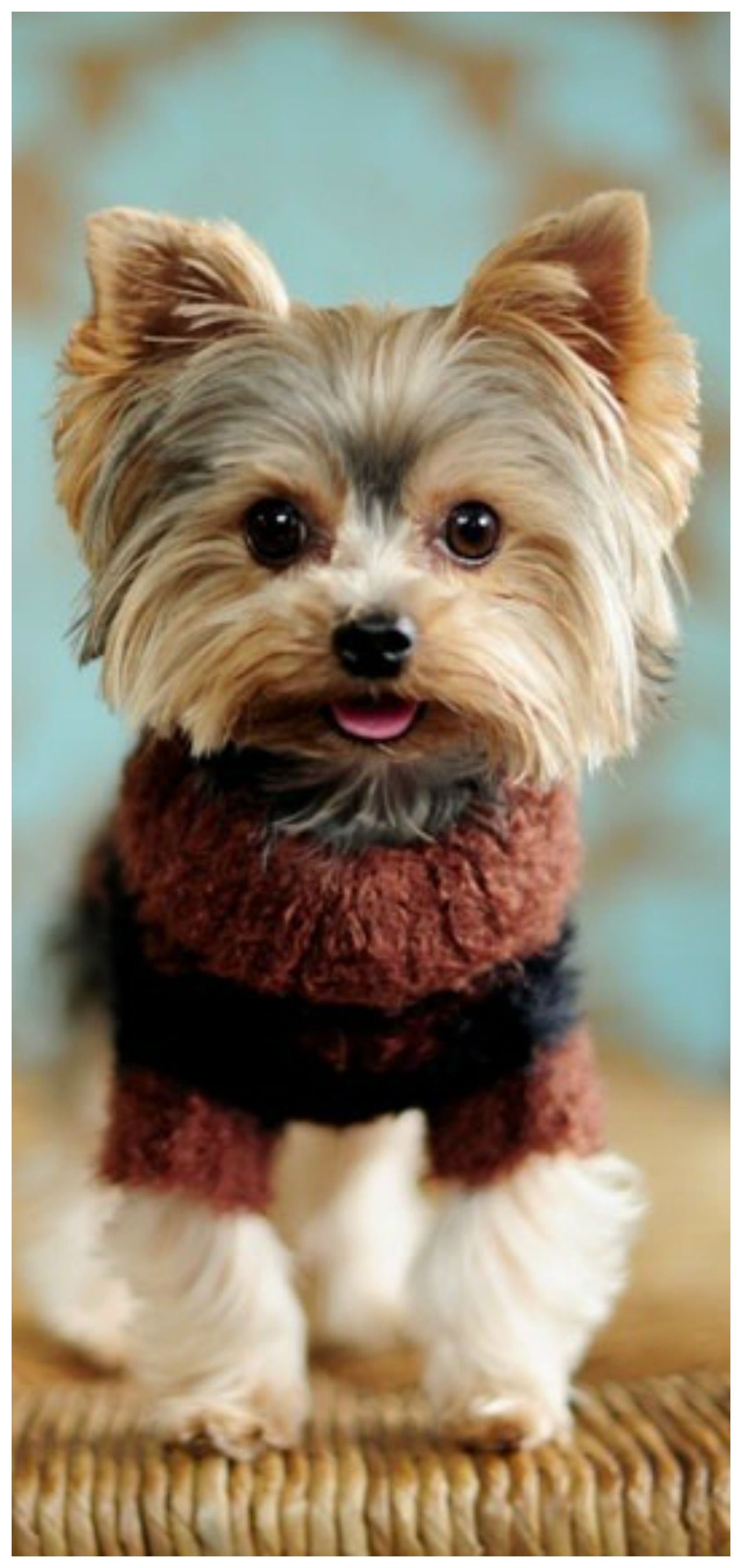 Pin By Tam S Boards On Warm Cozy Cottage Yorkie Dogs Cute Dogs Yorkie