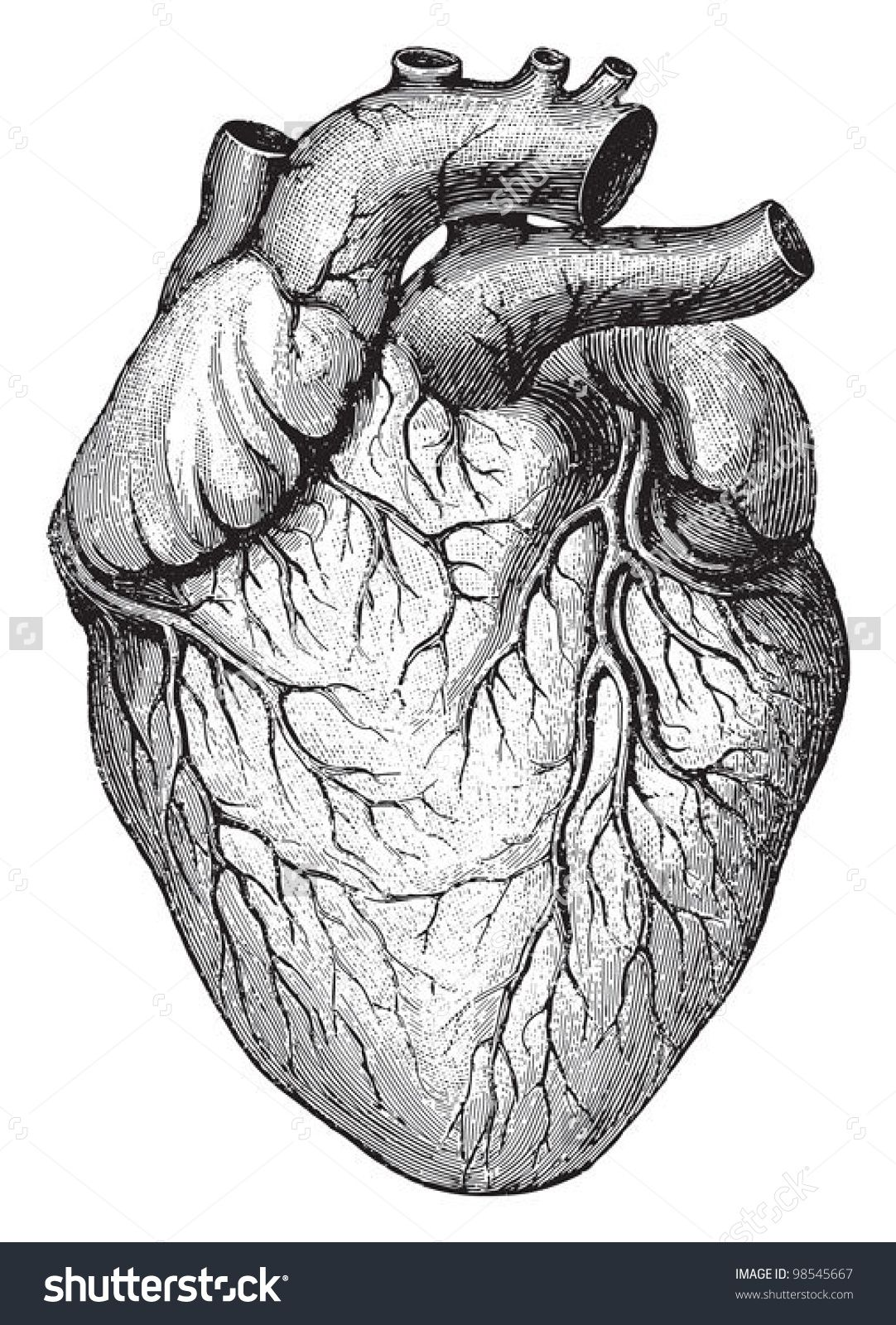 human heart / vintage illustrations from die frau als hausarztin, Muscles