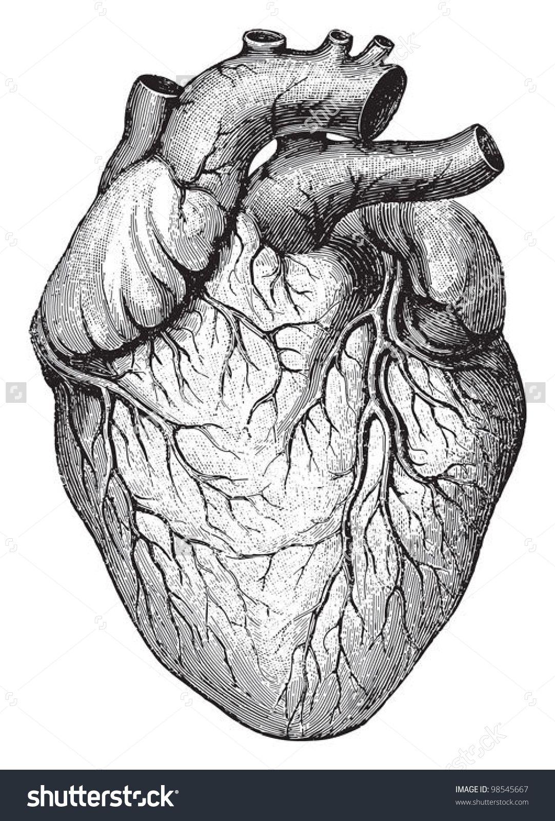 Human heart / vintage illustrations from Die Frau als Hausarztin ...