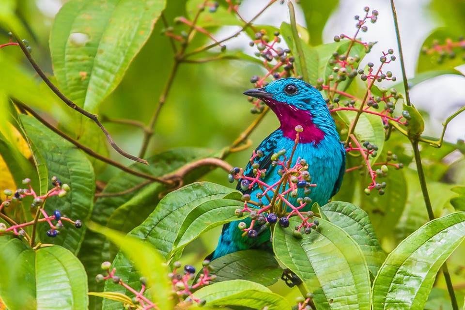 Anambé-azul (Cotinga cayana)