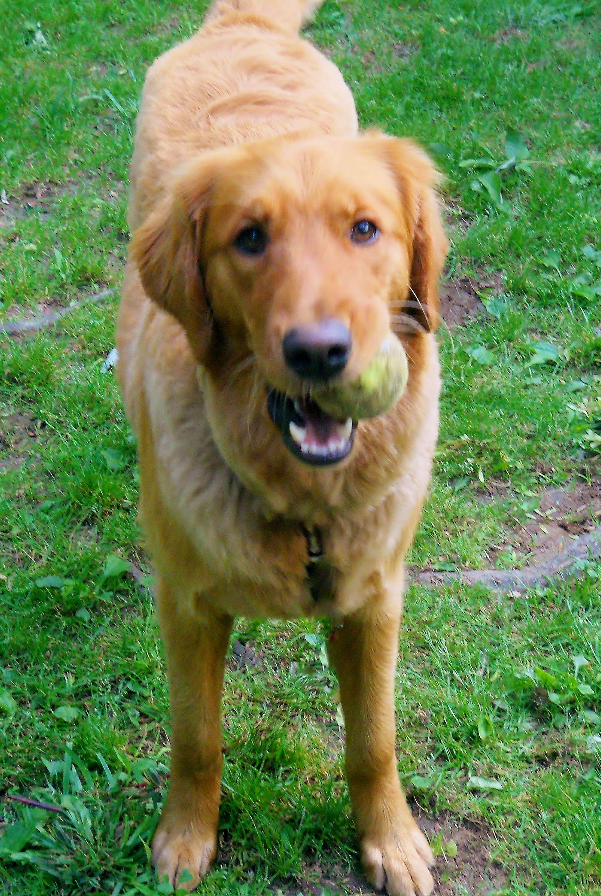 Wanna Play Catch Summertime Haircut Golden Retriever Puppy