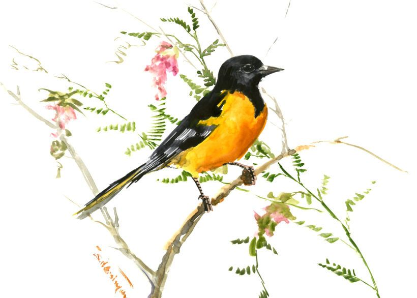 Baltimore Oriole Bird Artwork Original Watercolor Oriole Bird