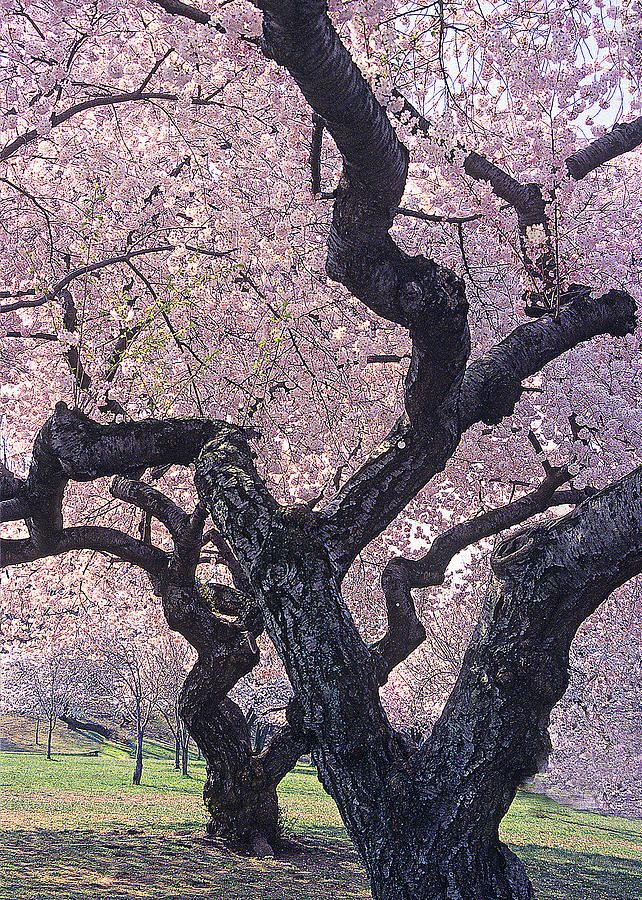Pin By Diane Aldrich On Photography Favorites Flowering Trees Blossom Trees Beautiful Tree