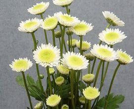 Puma White - Spray (Pompoms) - Chrysanthemum - Flowers by category ...