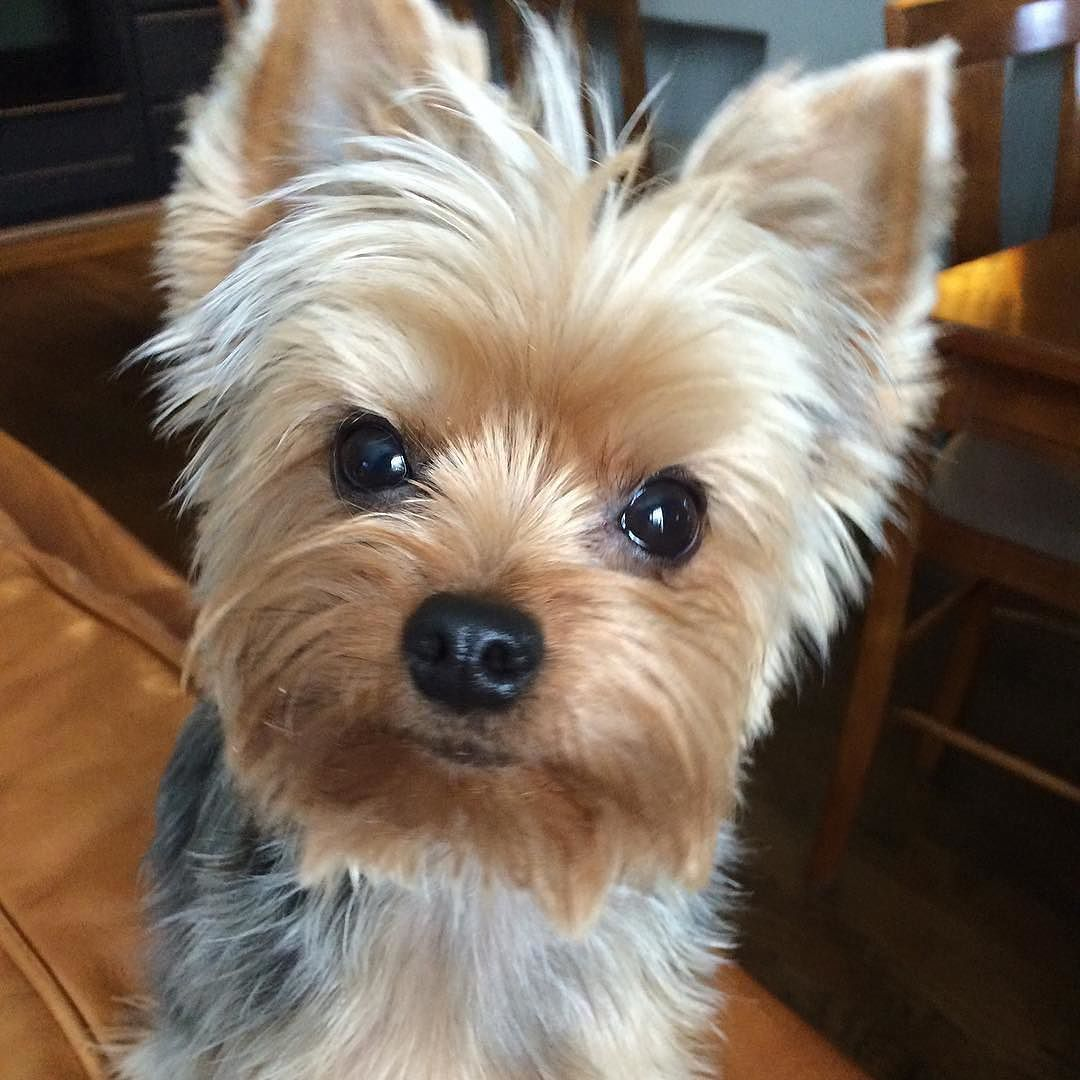 Repost Frankietito Kissing Booth Pucker Up Frankietito Yorkiesofficial Yorkielover Yorkielover In 2020 Yorkshire Terrier Puppies Yorkshire Terrier Yorkie