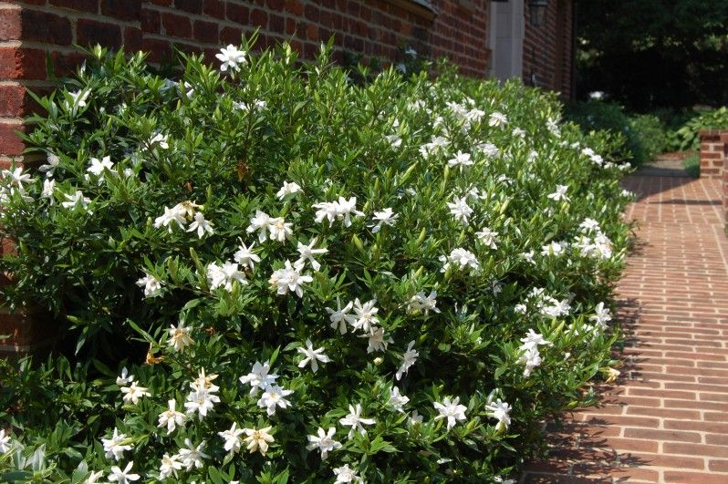 Gardenia Frostproof Lovely Fragrance And Bloom With Images