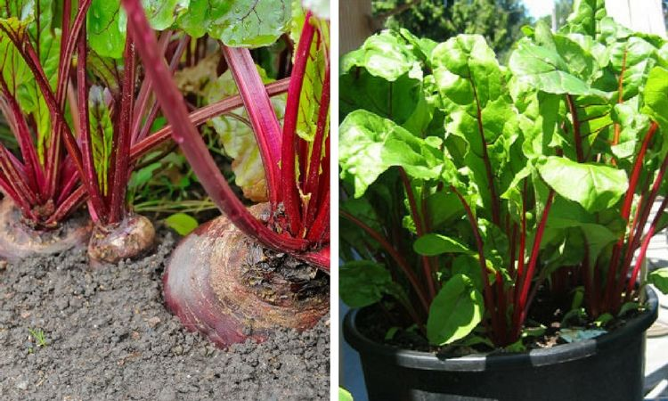How to plant and grow beets growing beets plants beets