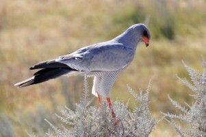falcon bird grey
