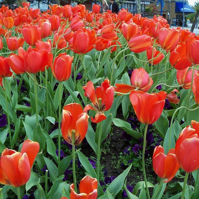 Red Tulips Symbolism Declaration Of Love Eternal Love