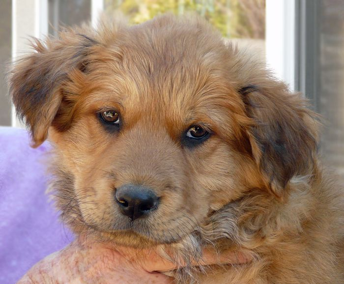 German Shepherd Golden Retriever Mix Puppies For Sale Golden