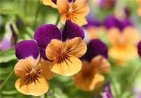 Pansies are so cheerful. It makes me smile just to look at them. They have so many varieties, I can never tire of them.  Pansies - Bing Images