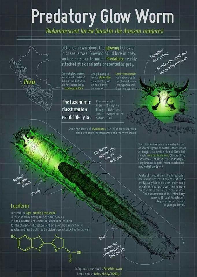 Glow worms Glow worm, Amazon rainforest, Rainforest