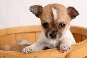 Yine Senin Ekip Benimle Ne Isleri Oldu Ya Bibi Chihuahua Welpen Tiere Husky Hund