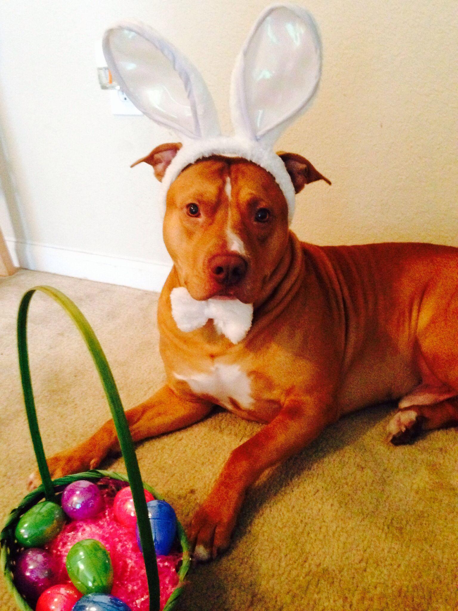 Easter pitbull pitbulls puppy love puppies