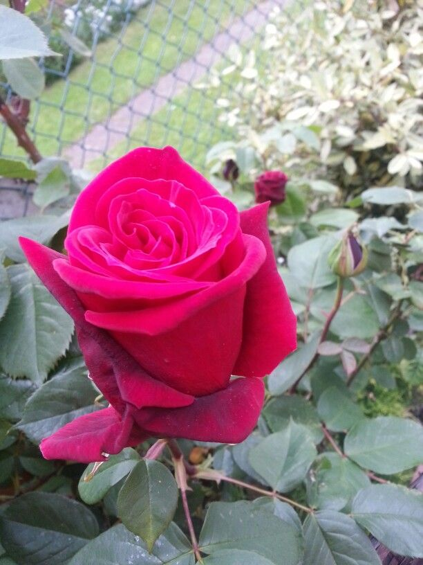 My first red roses this year.
