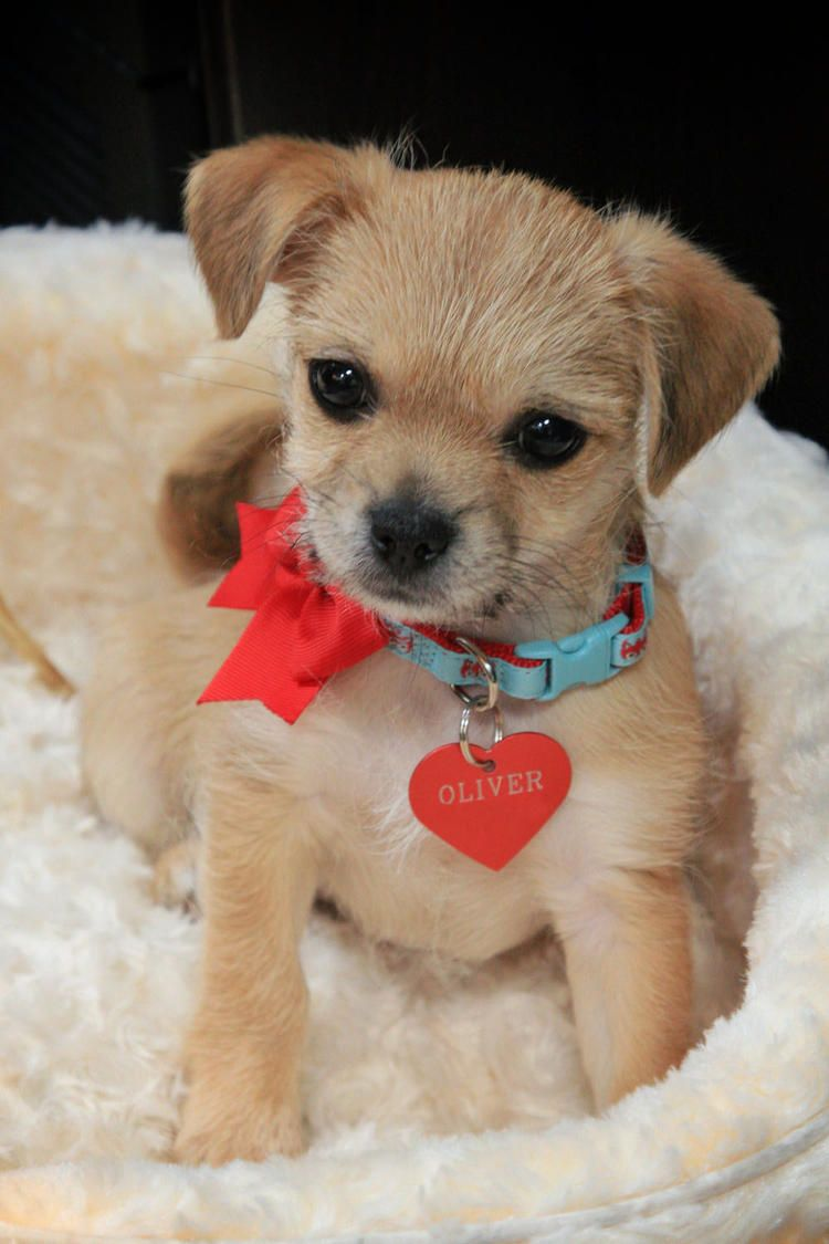 Oliver The Japanese Chin Poodle Rat Terrier Mix Puppies