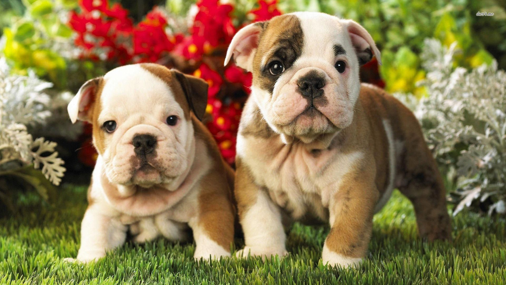 Puppies Free Hd Wallpapers And Backgrounds Download 6 English