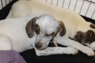 Adopt Delia, a lovely 2 months 22 days Dog available for