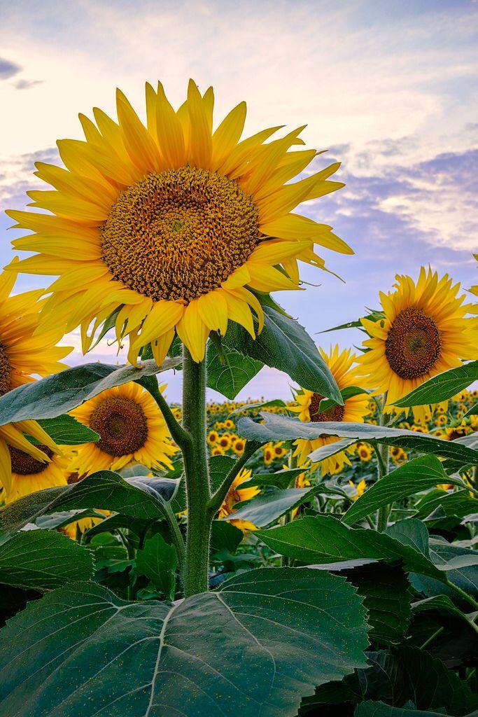 _LCH6811 kansas sunflowers
